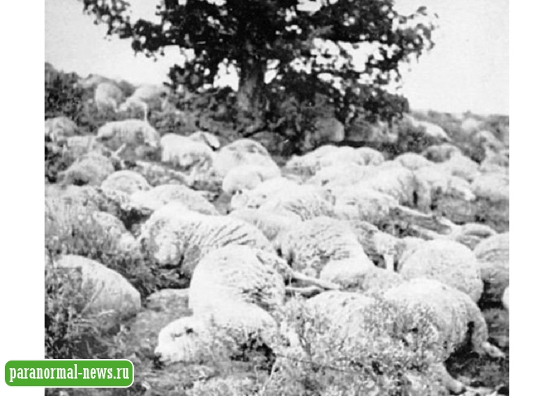 Испытание биологического оружия? Загадка массовой смерти тысяч овец в штате Юта