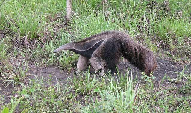 В Бразилии людей убивало нечто с огромными когтями и когда убийцу обнаружили, то все были в шоке