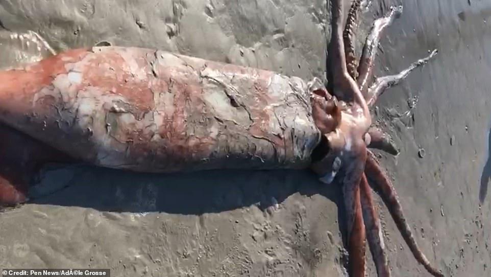 4-метрового кальмара выбросило на пляж ЮАР (+ видео)
