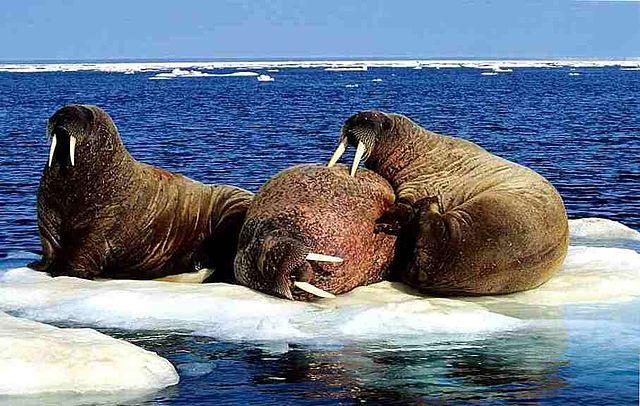 Загадочный шум Нунавут, из-за которого в этом регионе пропали киты и тюлени