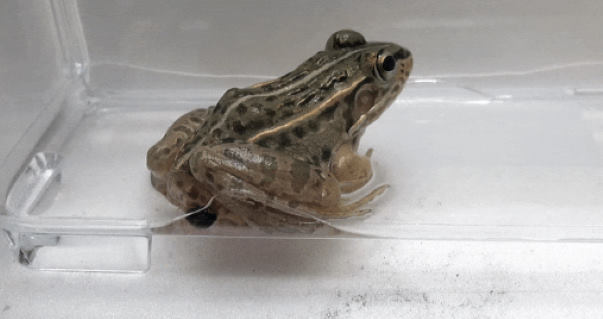 Странные японские жуки могут пройти через кишечник лягушки и живыми вылезти из заднего прохода