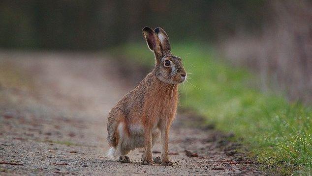 На юго-западе США тысячи кроликов умирают от вируса, прозванного заячьей эболой