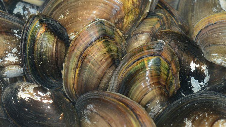 Гигантские китайские моллюски захватили Волгу