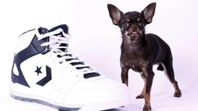 «Какая прелесть! Хочу такую же!»: Самую маленькую собаку в мире клонировали 49 раз