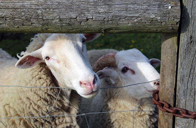 Таинственный случай панического побега десятков тысяч овец в Оксфордшире