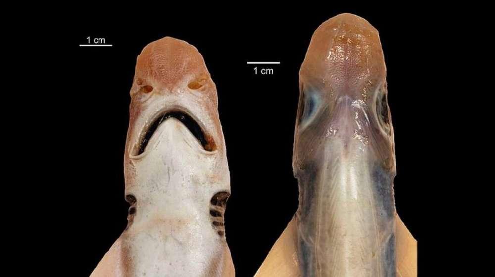 Без кожи и зубов: Возле Сардинии поймали странную акулу-мутанта