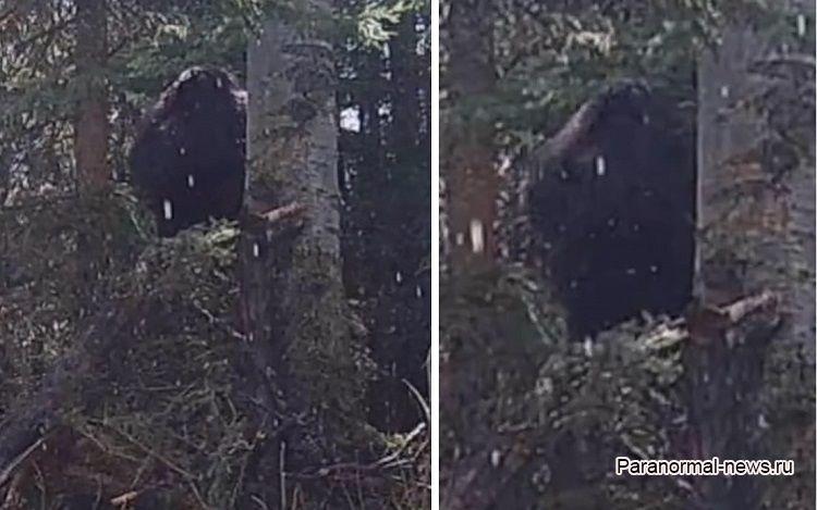 Огромный йети попал на камеру наблюдения за лесными животными