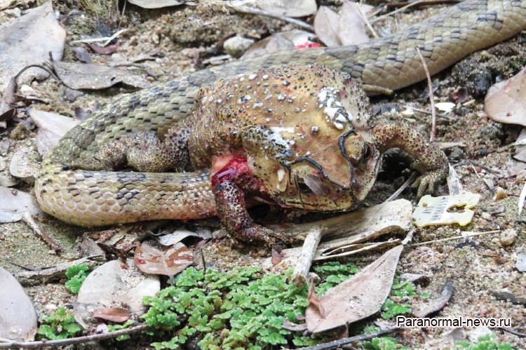 В Таиланде нашли странных змей, которые заживо выедают добычу изнутри