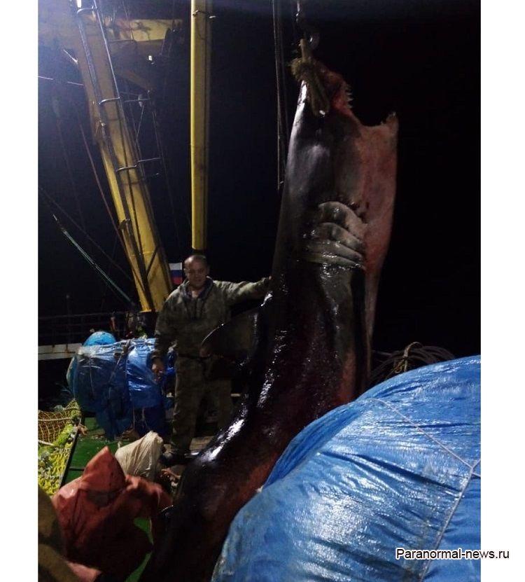 У Курильских островов в сети рыбаков попала громадная белая акула