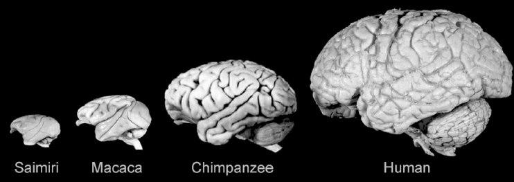 От введения человеческого гена у обезьян увеличился мозг