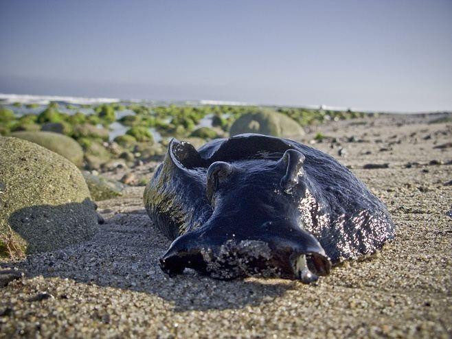 «Пришельцы» рядом с нами: Самый большой в мире морской слизень достигает 1 метра в длину