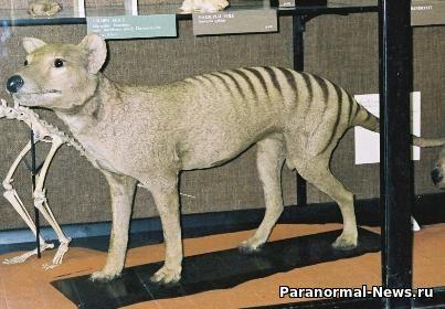 Житель Австралии увидел возле своего дома вымершего сумчатого волка с щенками
