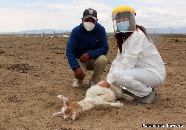 В Чили неизвестное существо убило 50 лам и альпак, высосав из них кровь