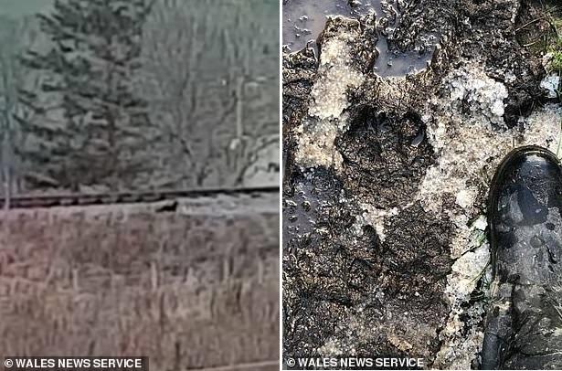 Новые отпечатки лап и фотографии: По Уэльсу бродит кошка, размером больше лабрадора