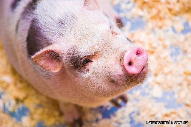 Американская компания готова начать пересаживать людям органы свиней