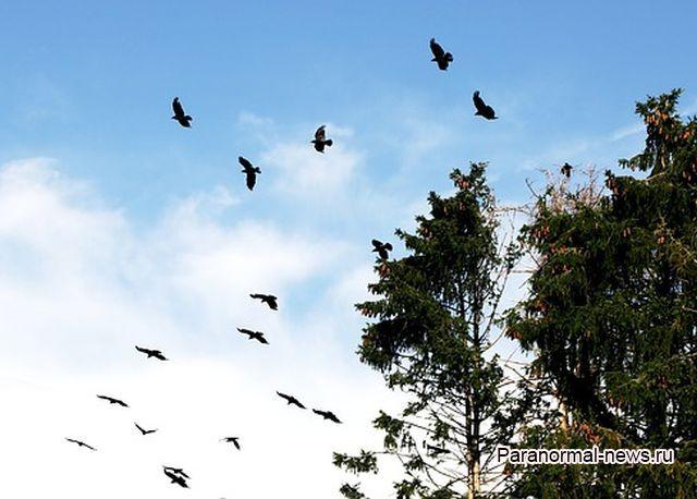 Стая ворон более 14 часов с криками кружила над улицей как в фильмах об Апокалипсисе (Видео)