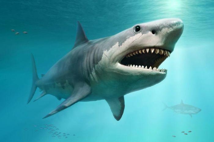 Выяснилось, что древняя акула мегалодон была куда крупнее, чем считалось раньше