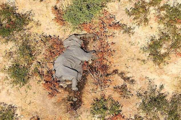 Токсичная зараза продолжает убивать слонов в Ботсване: Ученые исключили сибирскую язву и инфекции