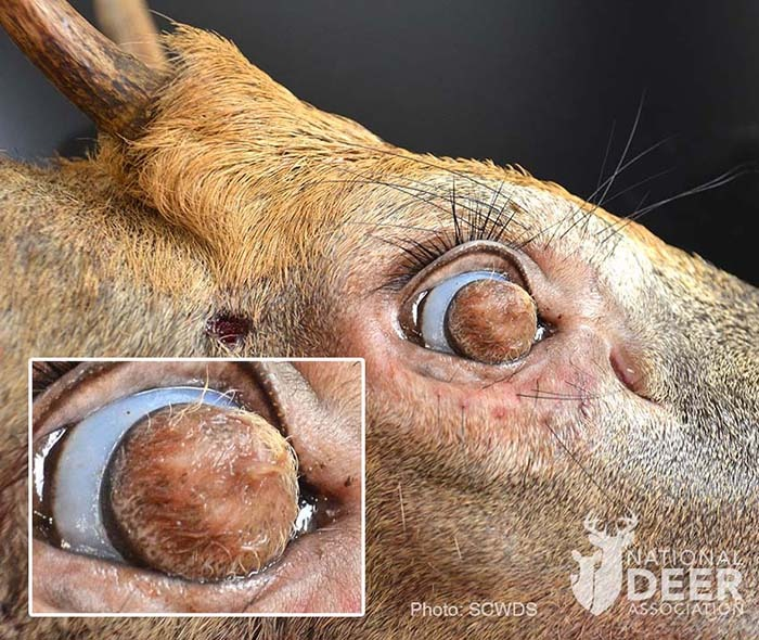 В США найден жуткий олень с глазными яблоками, заросшими шерстью