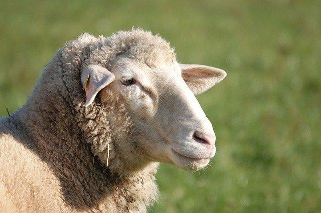 В Мексике чупакабра убила 18 овец