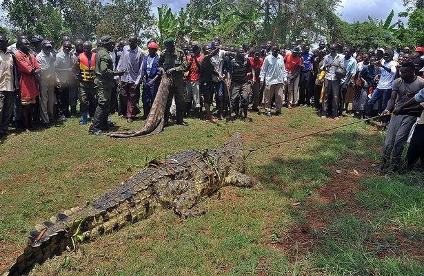 История 5-метрового крокодила по кличке Усама, который съел 83 жителя деревни в Уганде