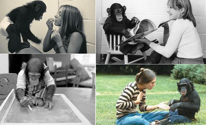 Трагическая история шимпанзе, которого пытались научить быть человеком