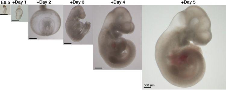 Ученые вырастили мышиные эмбрионы вне матки