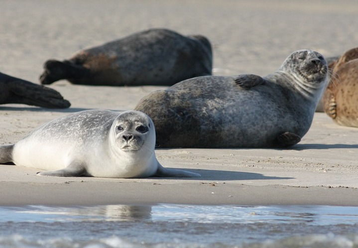 В Канаде 21 тюлень найден обезглавленным и со странными дырами в животе