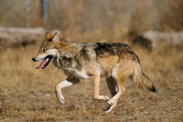 Странные случаи массового убийства людей волками в Индии, породившие сплетни об оборотнях