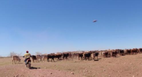 Австралийские фермеры напуганы феноменом увечья скота и обвиняют в этом НЛО
