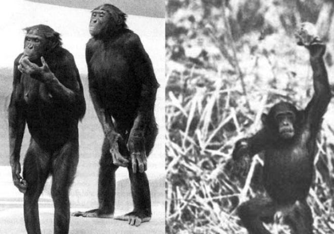 Секс сделал из обезьяны человека