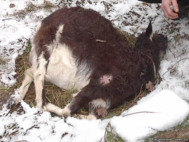 Чупакабра убила козу двумя проколами и высосала мозг
