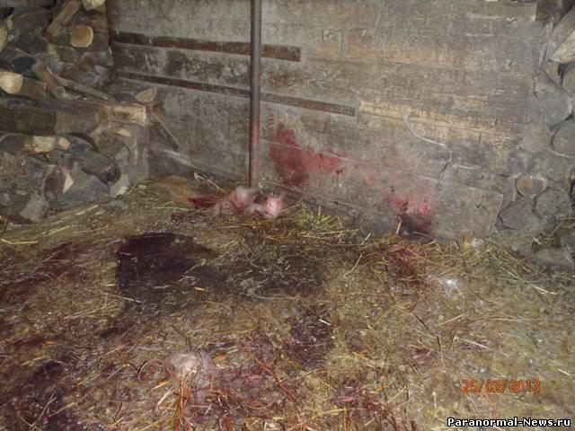 В Подгоренском районе неизвестное животное изувечило коз и овец (4 фото)