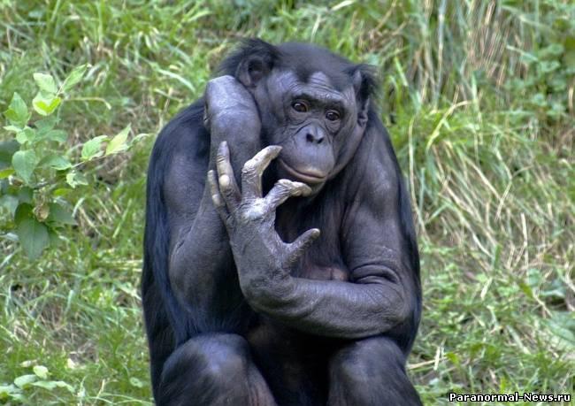 Ученые доказали, что у шимпанзе и человека один общий предок