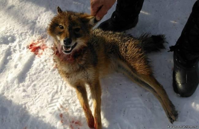 койот и волк фото