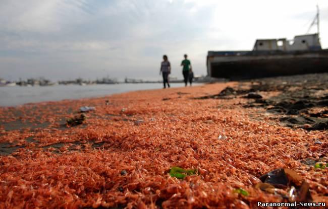 На берег Чили выбросило тысячи мертвых креветок
