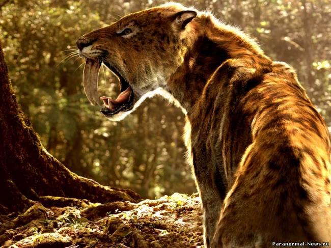 Саблезубые тигры живы: свидетельства африканского охотника (4 фото)