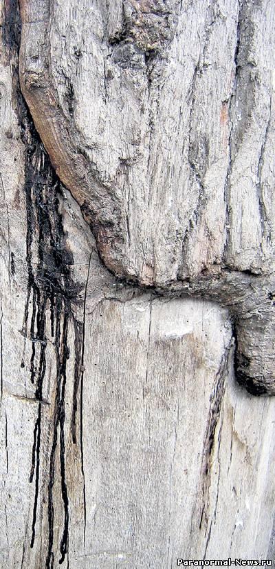 Старый дуб мироточит, поет и лечит от болезней