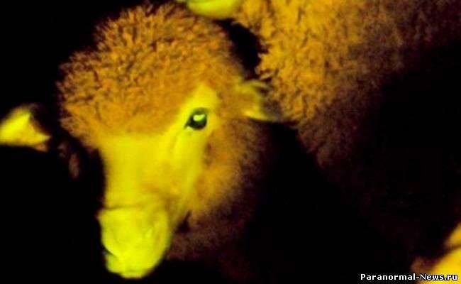 Чудеса генной инженерии: светящиеся в темноте овцы (+Видео)