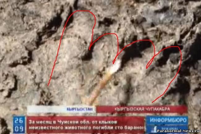 Киргизы объявили войну обнаглевшей чупакабре
