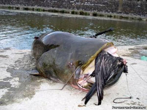 В Риме гигантские сомы-мутанты пожирают птиц и крыс