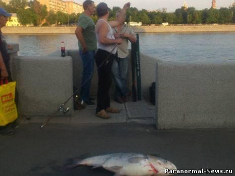 В Москве-реке завелись рыбы-гиганты