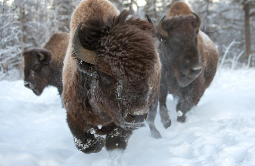 Про якутских бизонов расскажут на всероссийской конференции молодых ученых