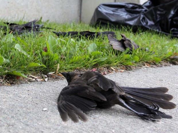 На головы канадцев пролился дождь из мертвых птиц (+Видео)