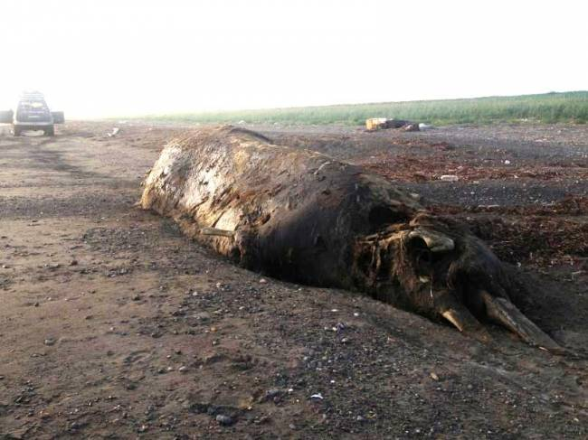На берег Сахалина выбросило неопознанное животное