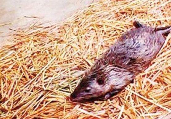 В Китае поймали огромную крысу с непробиваемой шкурой