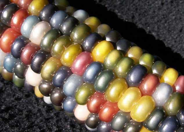 Индейский фермер создал уникальную разноцветную кукурузу (6 фото)