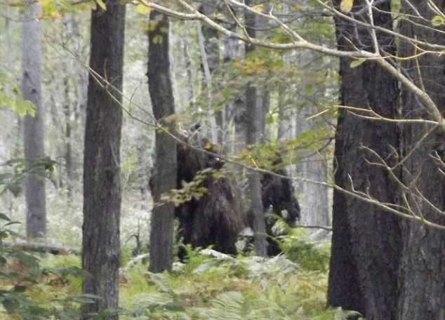 Американец заснял в лесу огромных мохнатых существ