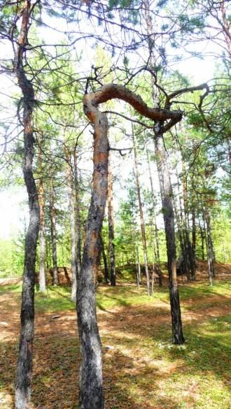 Деревья-мутанты Маганского тракта (15 фото)