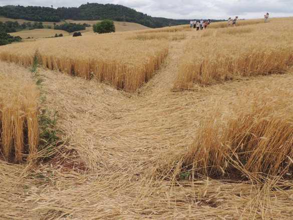На полях Бразилии одновременно появились 54-метровые круги (4фото + видео)